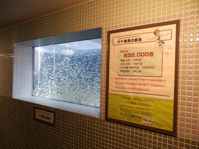 サケ稚魚の群泳1