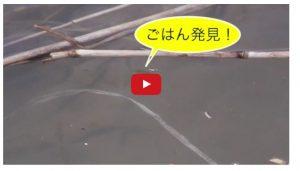 豊平川のサケ稚魚の映像