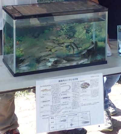 真駒内川の魚たち
