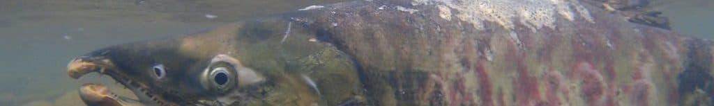 豊平川を遡上するサケ
