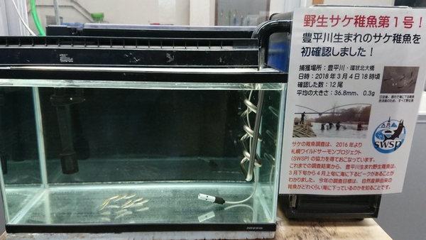 野生サケ稚魚の水槽展示
