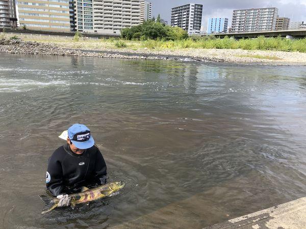 豊平川サケ第1号捕獲