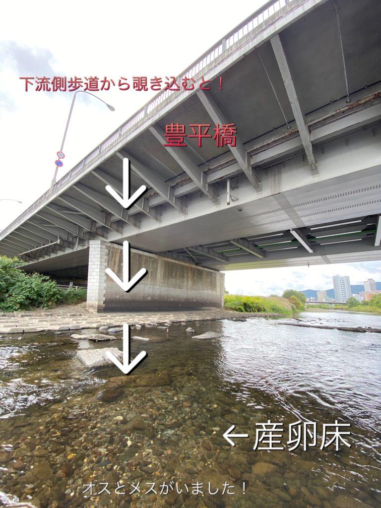 豊平川サケ産卵床調査(1回目)