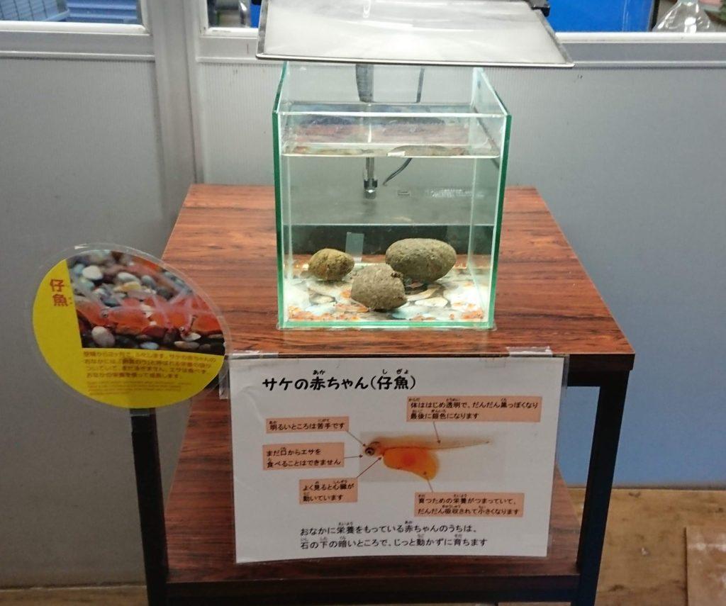 季節展示 サケの赤ちゃん(仔魚)のイメージ