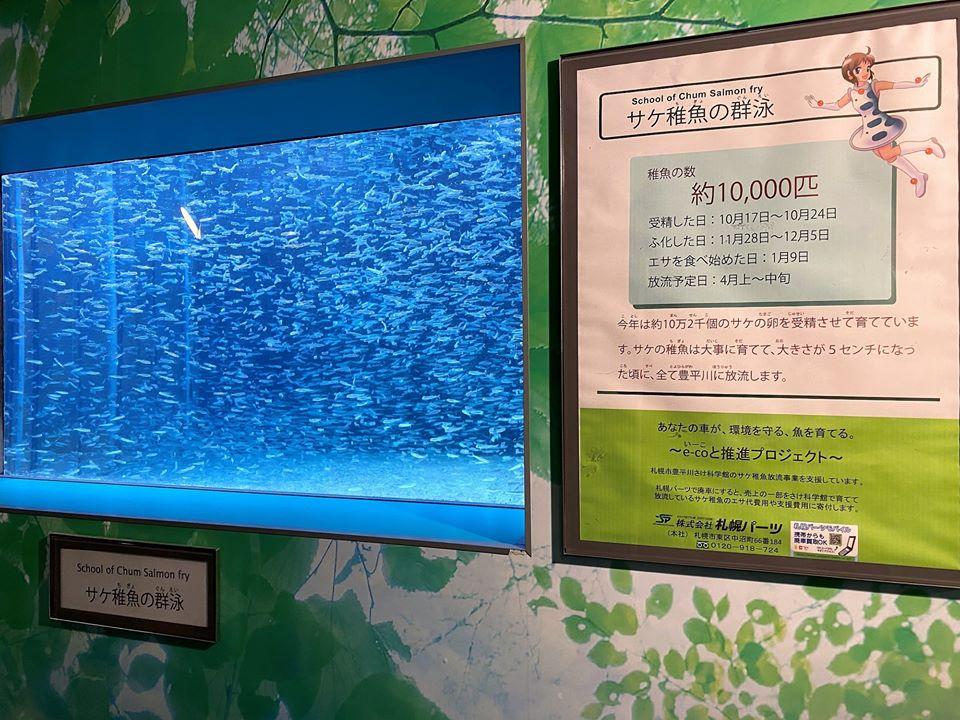 季節展示 サケ稚魚の群泳