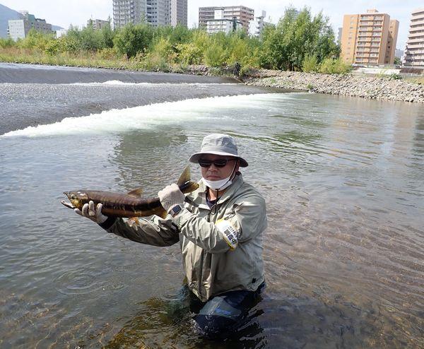豊平川でサケの遡上を確認