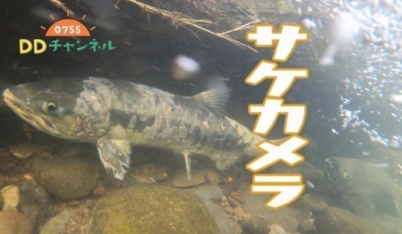「2020年豊平川のサケ」放送
